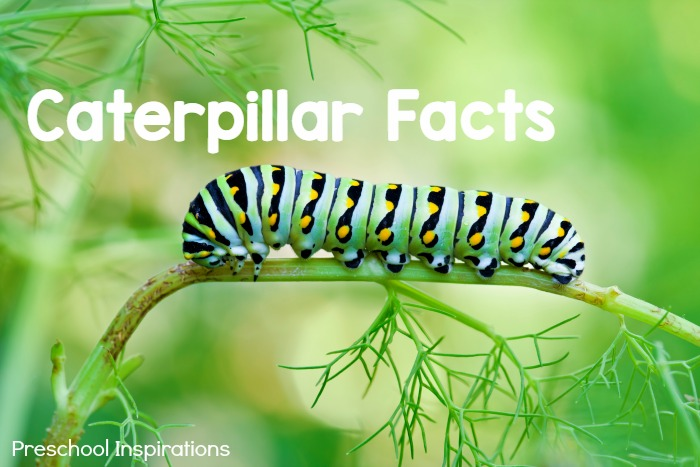 Caterpillar Facts for Kids