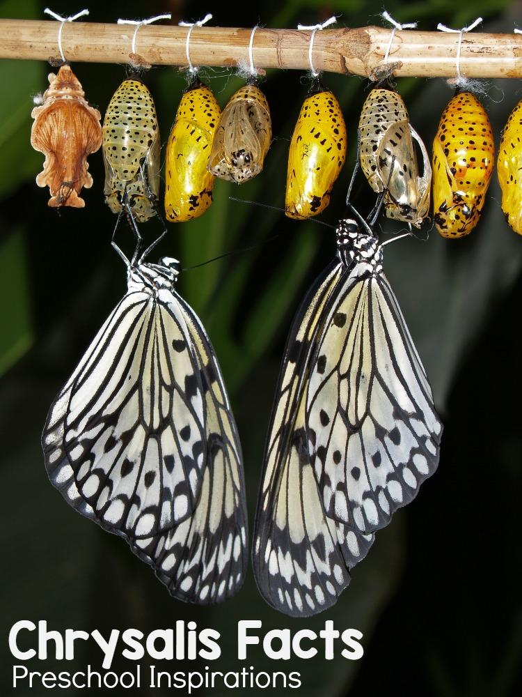 26644f4039cf1 Fun Butterfly Facts for Kids - Preschool Inspirations