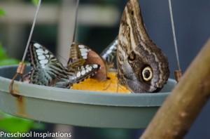 Preschool Inspirations- Fun Butterfly Facts for Kids-5