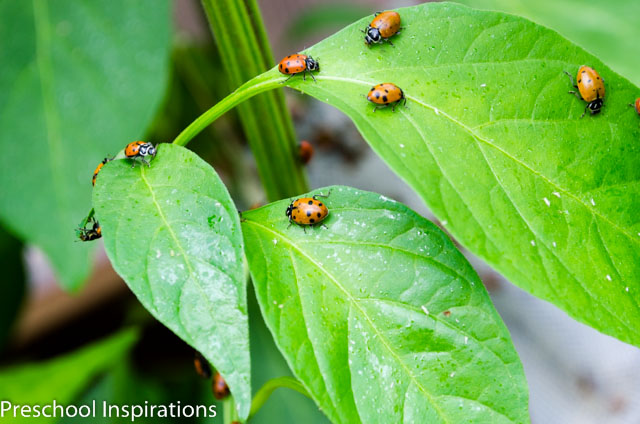 Ladybug Facts ~ Preschool Inspirations-3