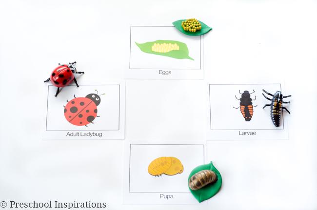 Ladybug life cycle cards