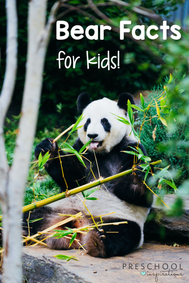 pinnable image of a panda bear eating bamboo with the text bear facts for kids