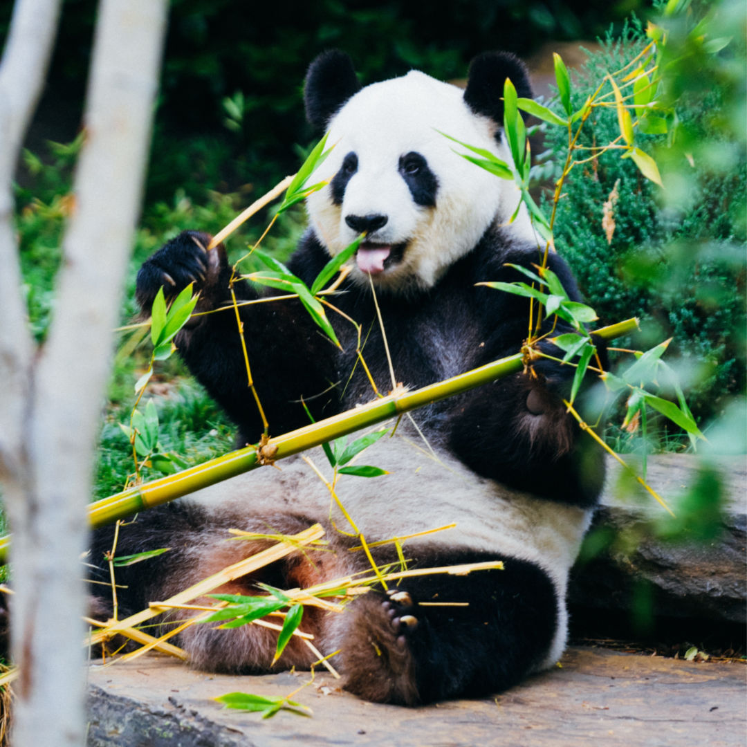 picture of giant panda bear sitting in the forest eating bamboo