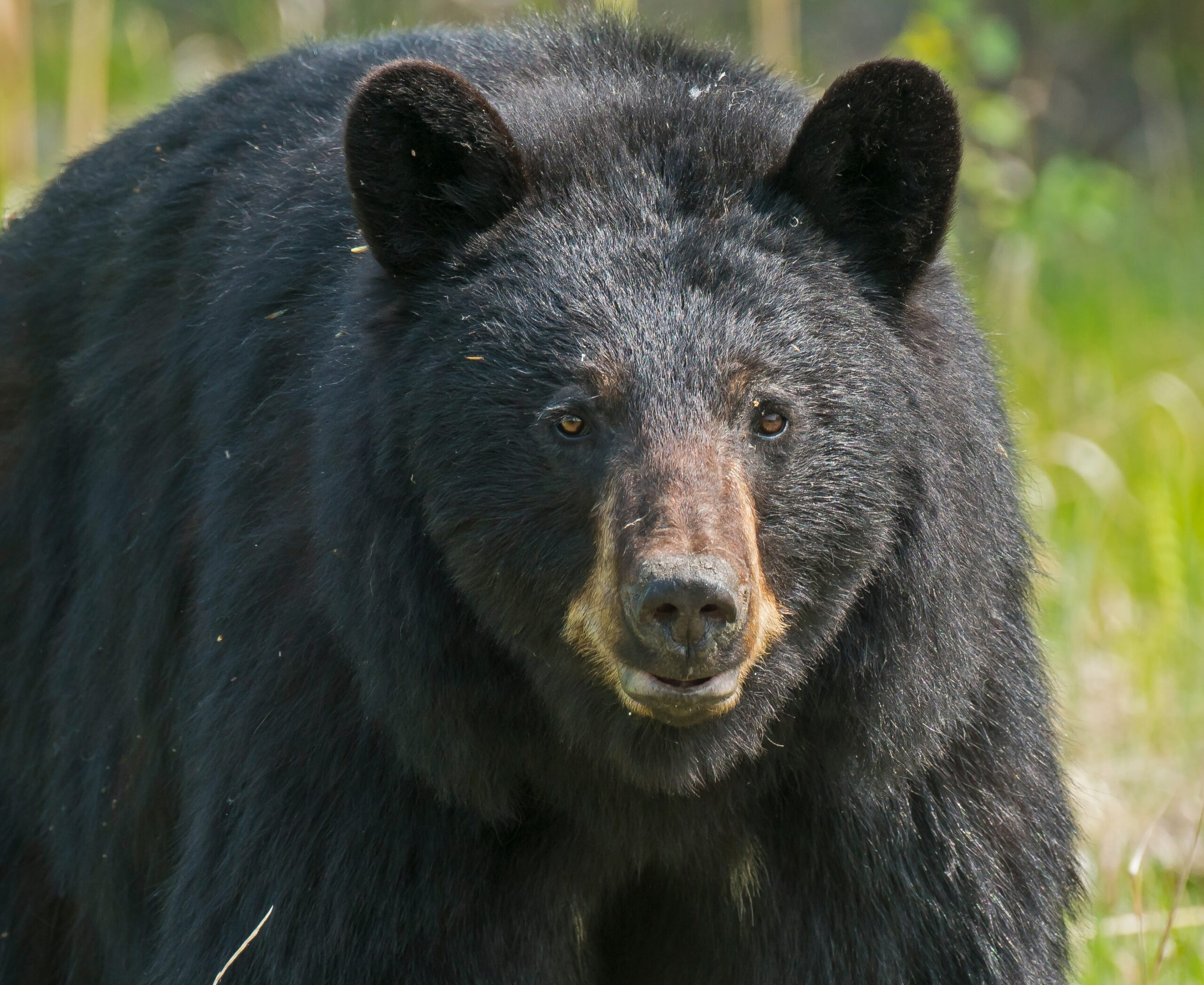 close up of black bear's face in the forest