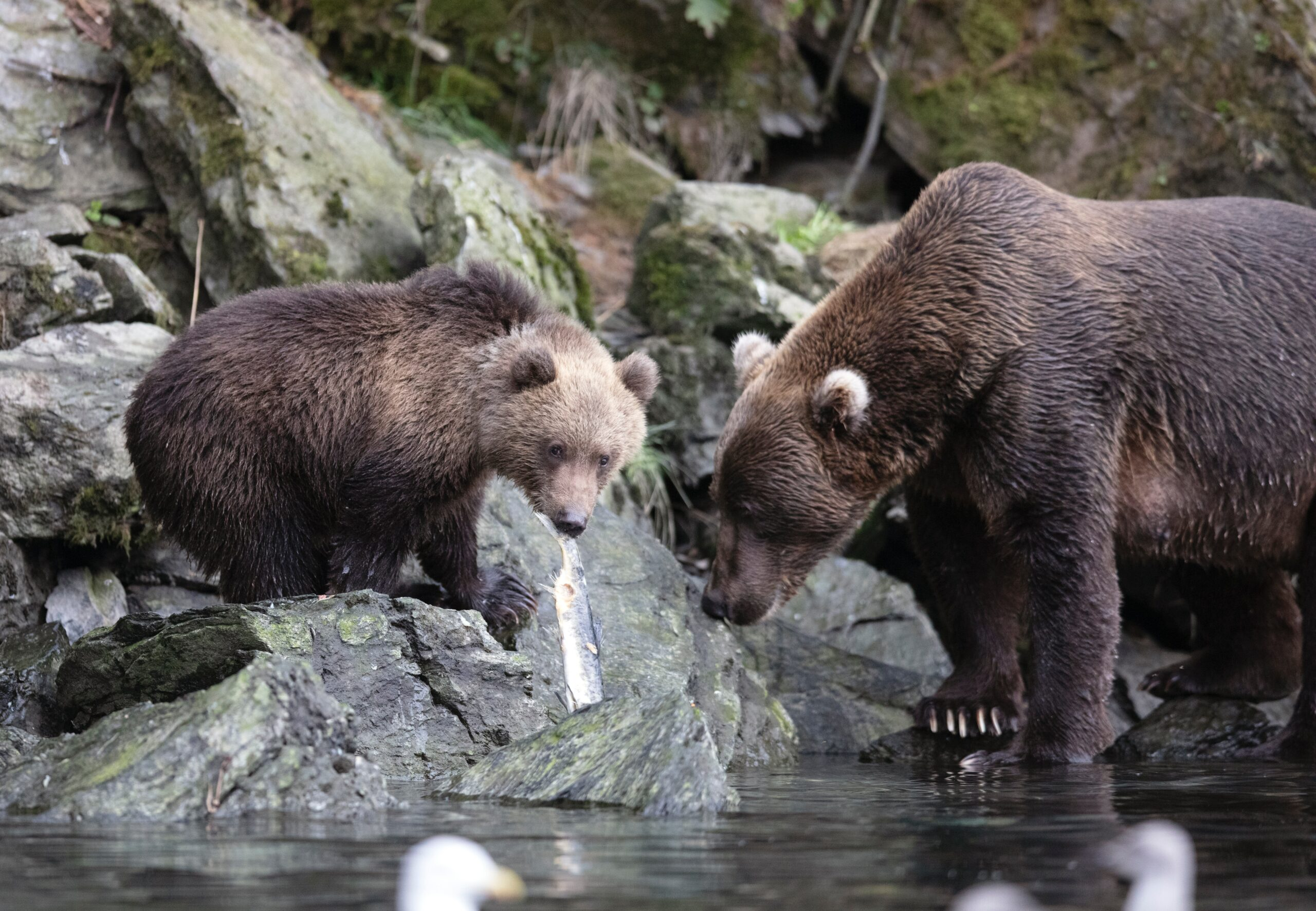 picture of brown bear and cub in a stream