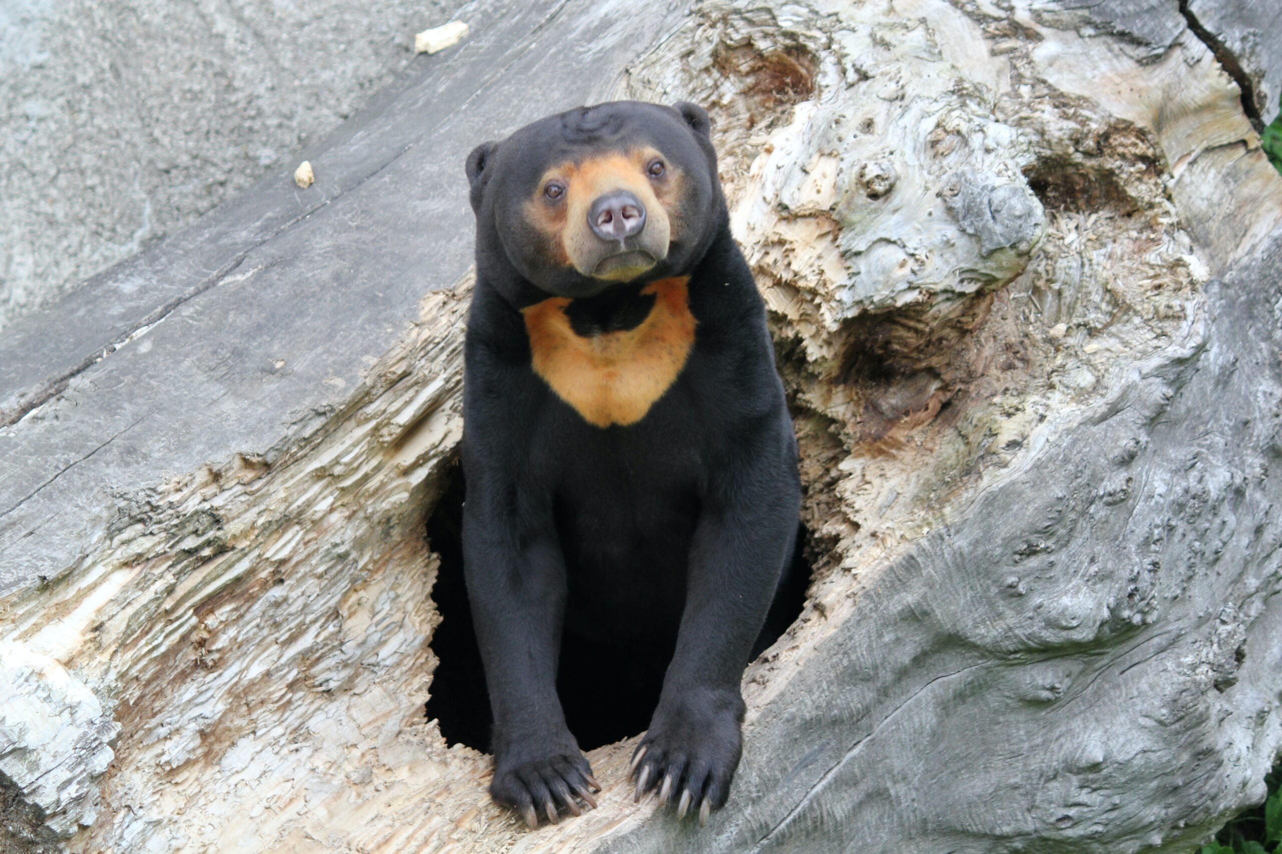 sun bear sitting on a rock looking at the camera