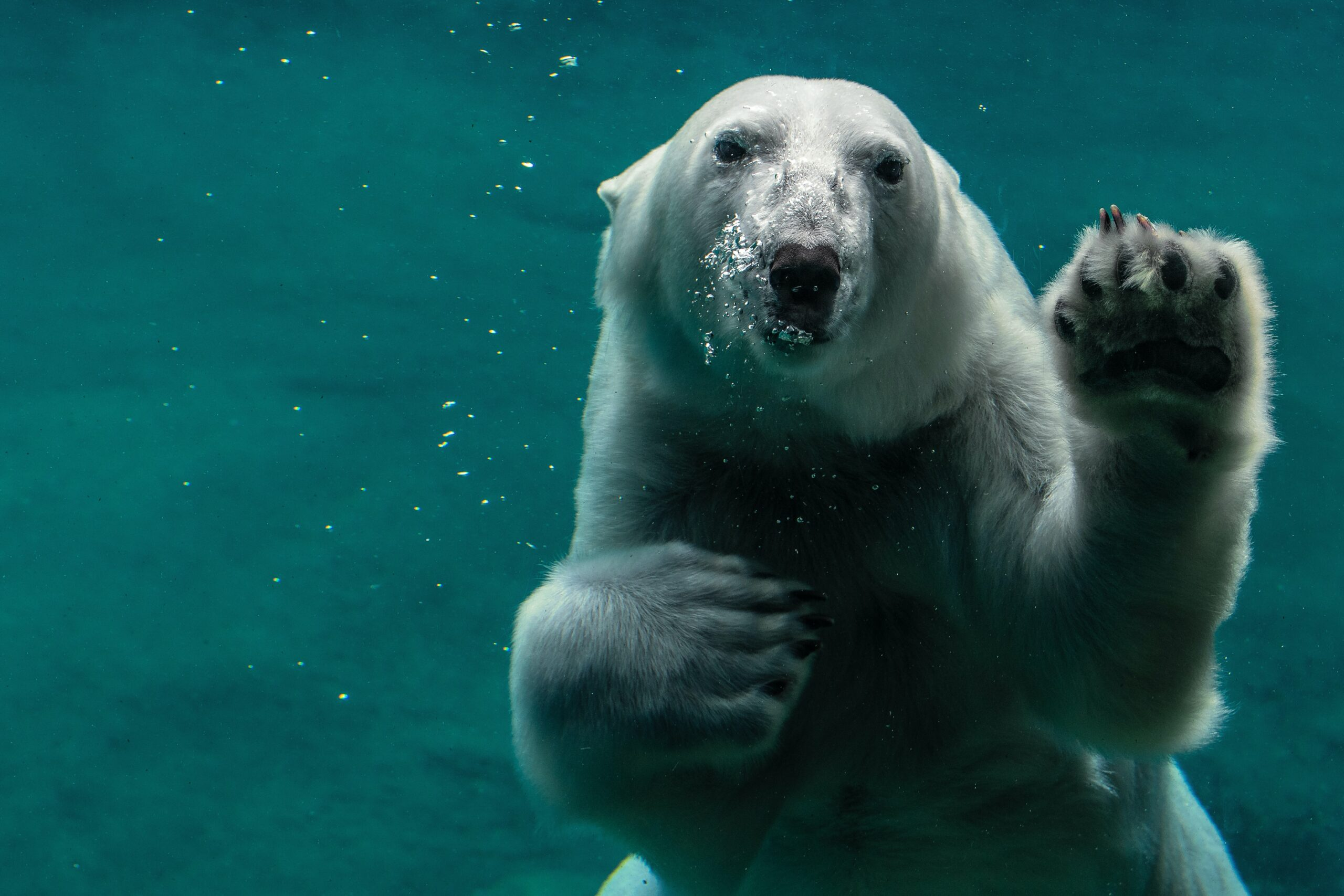 polar bear waving underwater