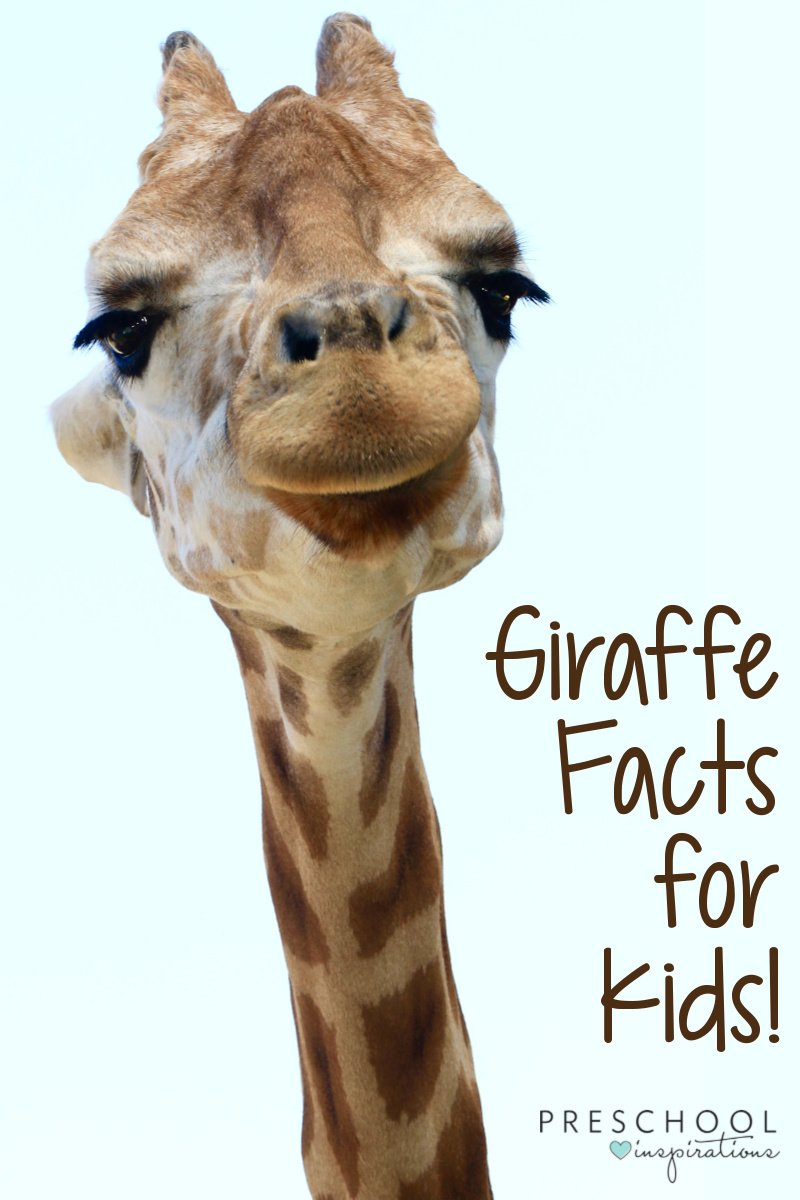 pinnable image of a close-up of a giraffe face with the text giraffe facts for kids