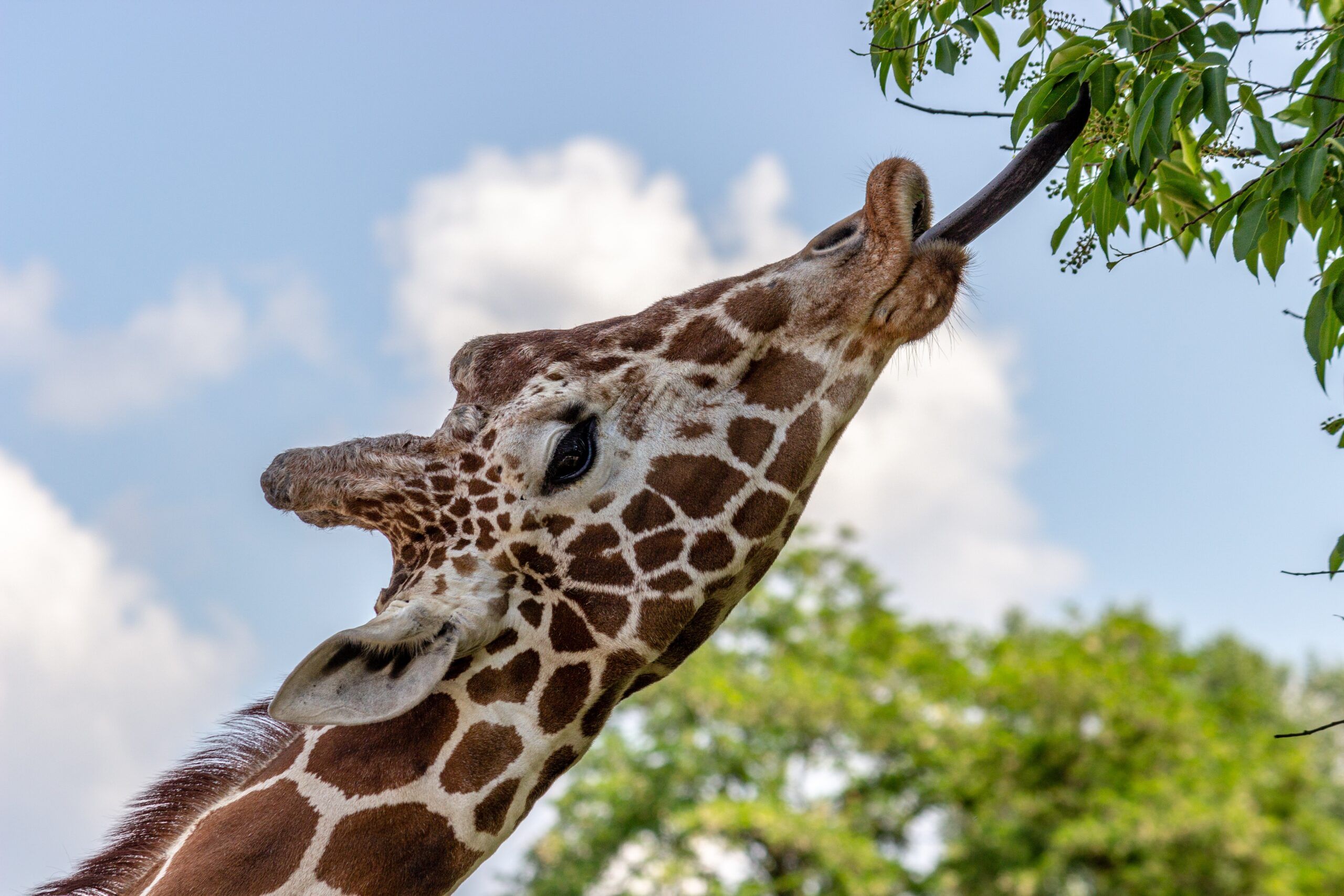 picture of a giraffe stretching out its tongue to eat leaves