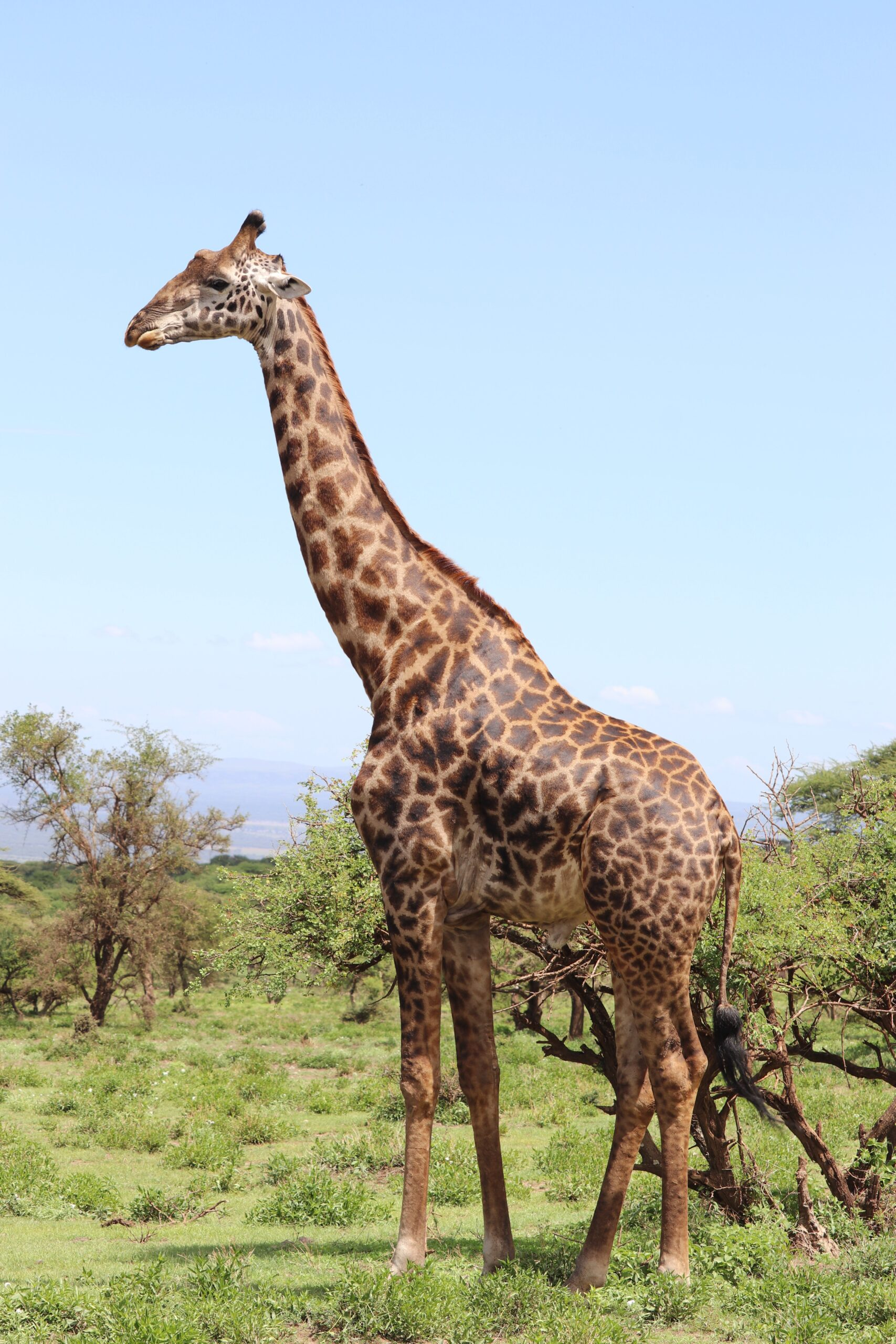 picture of a giraffe on the plains
