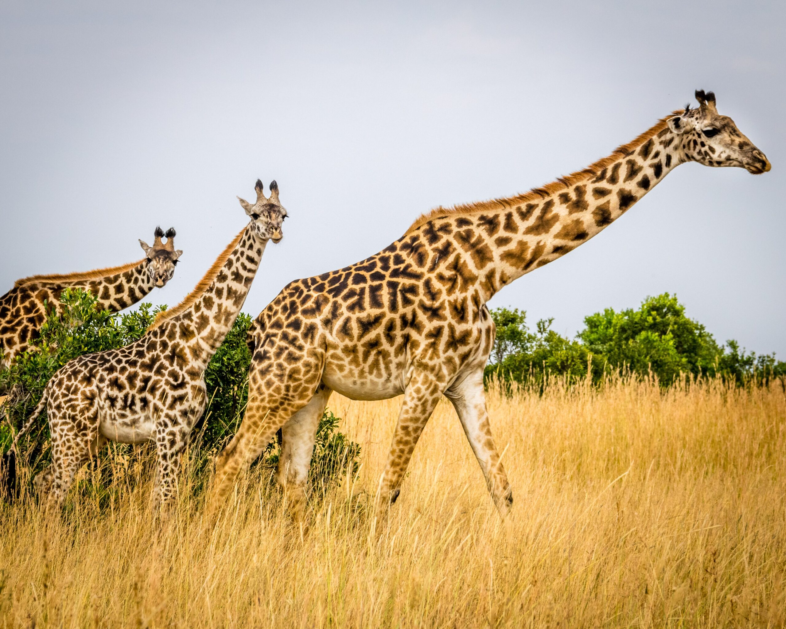 picture of a group of three giraffes on the plains