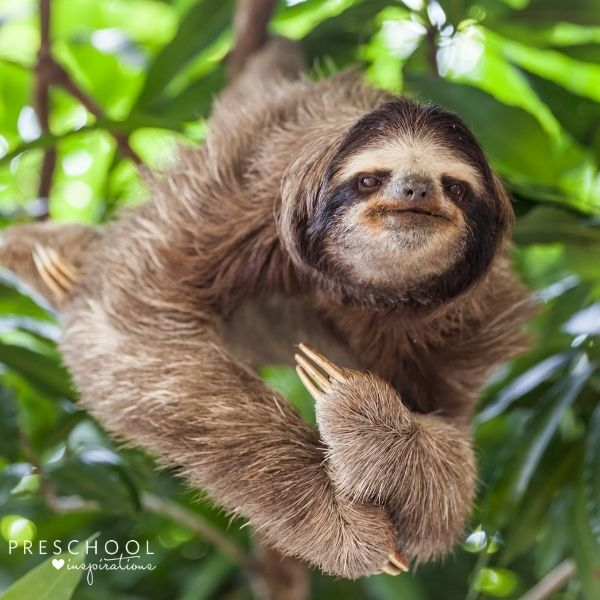 a three-toed sloth hanging in a tree
