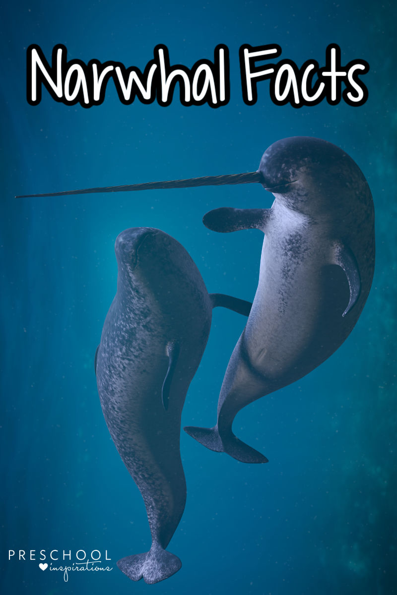 a pair of narwhals swimming in the ocean with the text narwhal facts