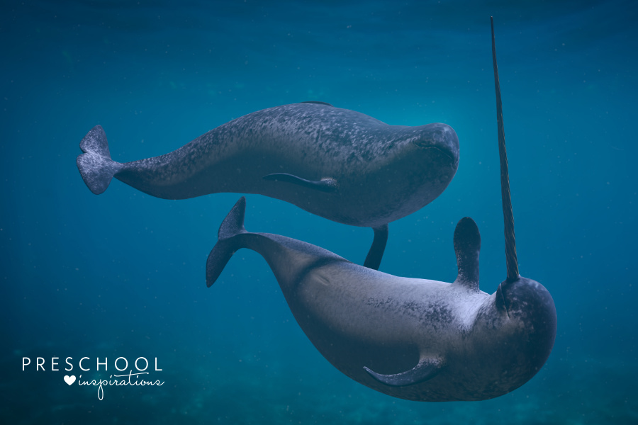 a narwhal couple swimming in the ocean